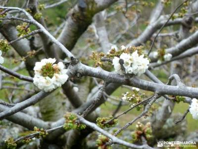 Cerezos en flor; Valle del Jerte; tiendas trekking madrid club senderismo alicante parque nacional d